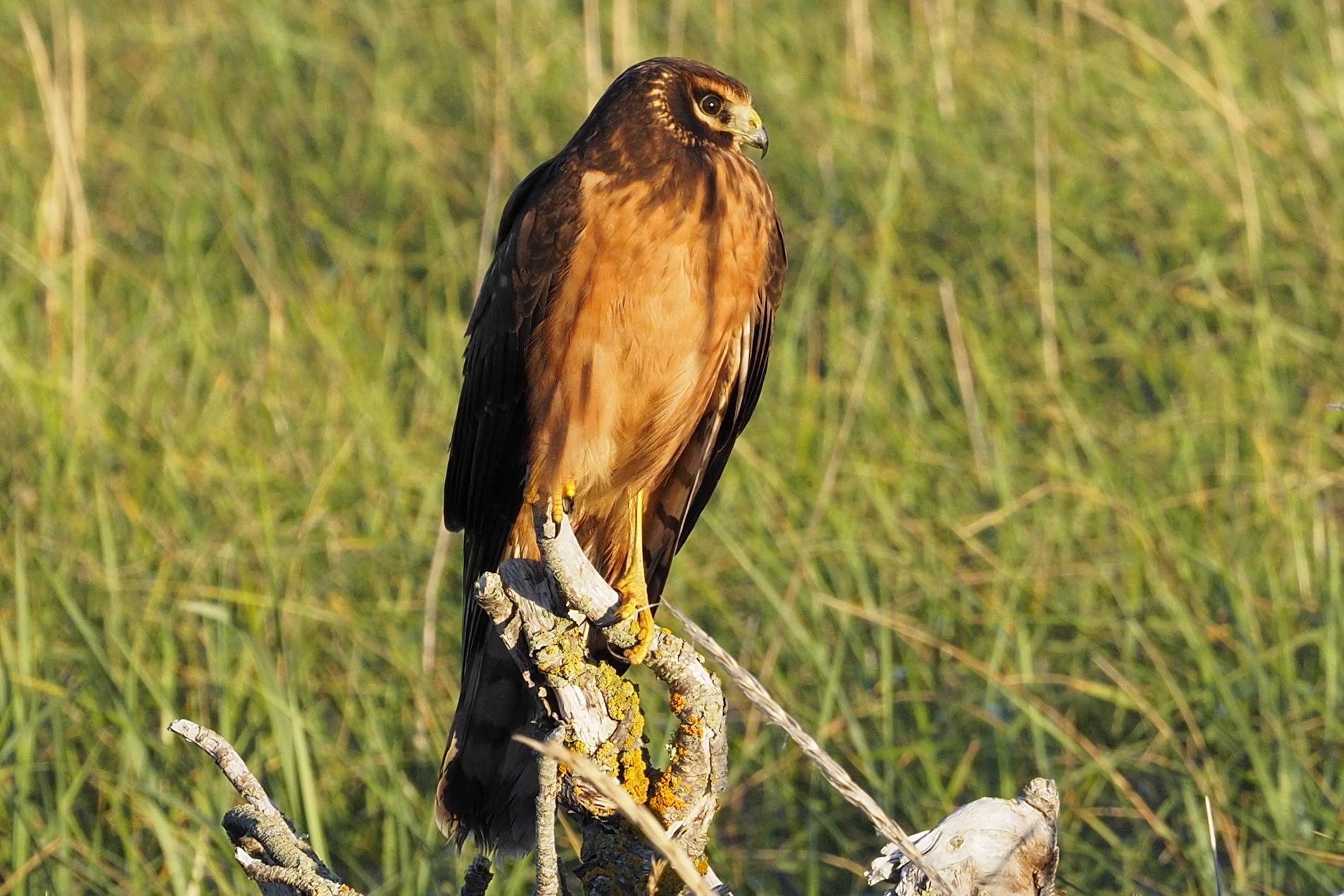 Busard des marais au Parc Nature de Pointe aux Outardes