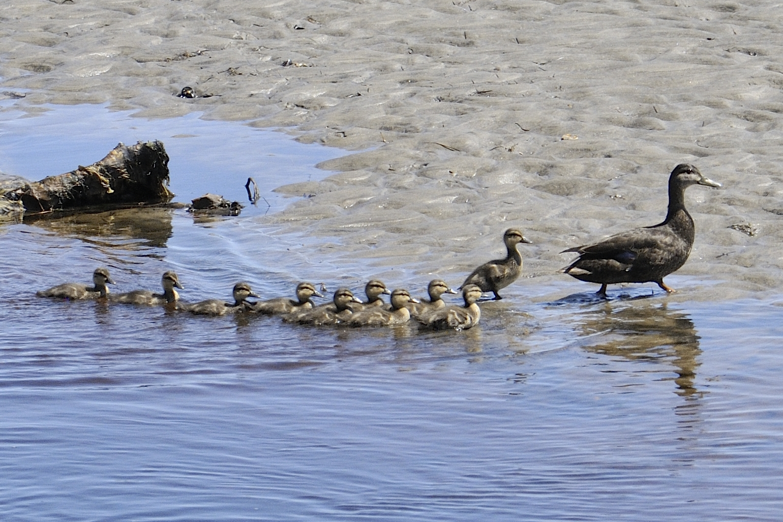 Canard noir à Pointe aux Outardes secteur Baie St-Ludger