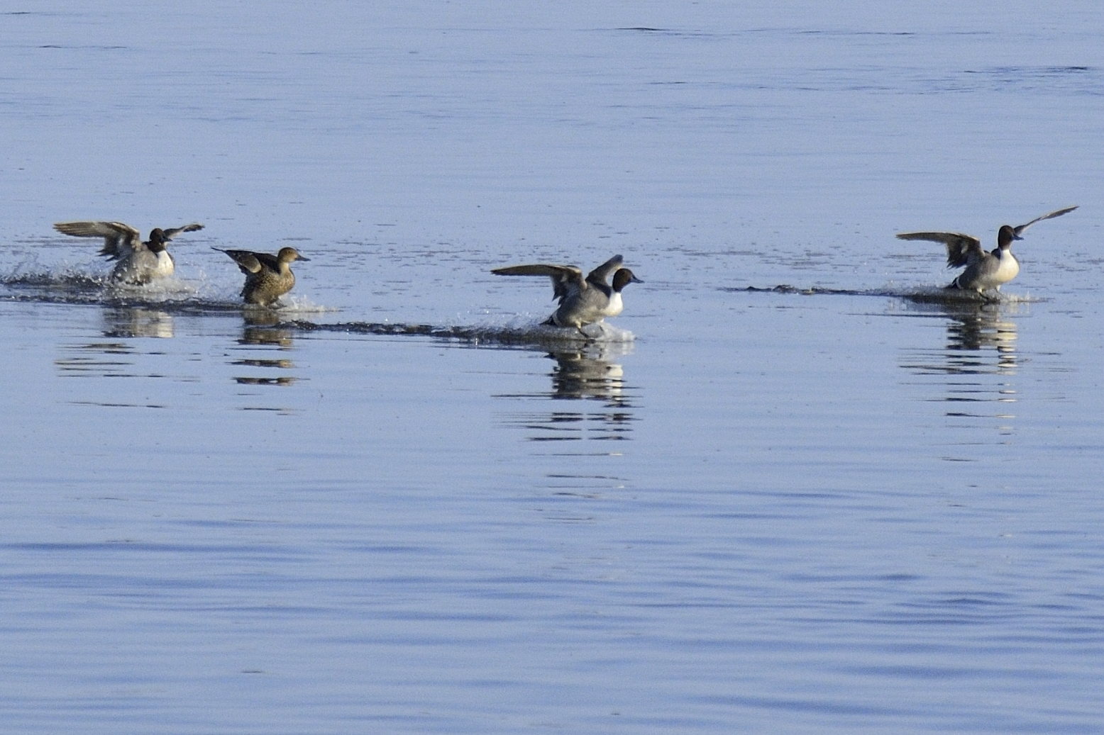 Canard pilet au Parc Nature de Pointe aux Outardes