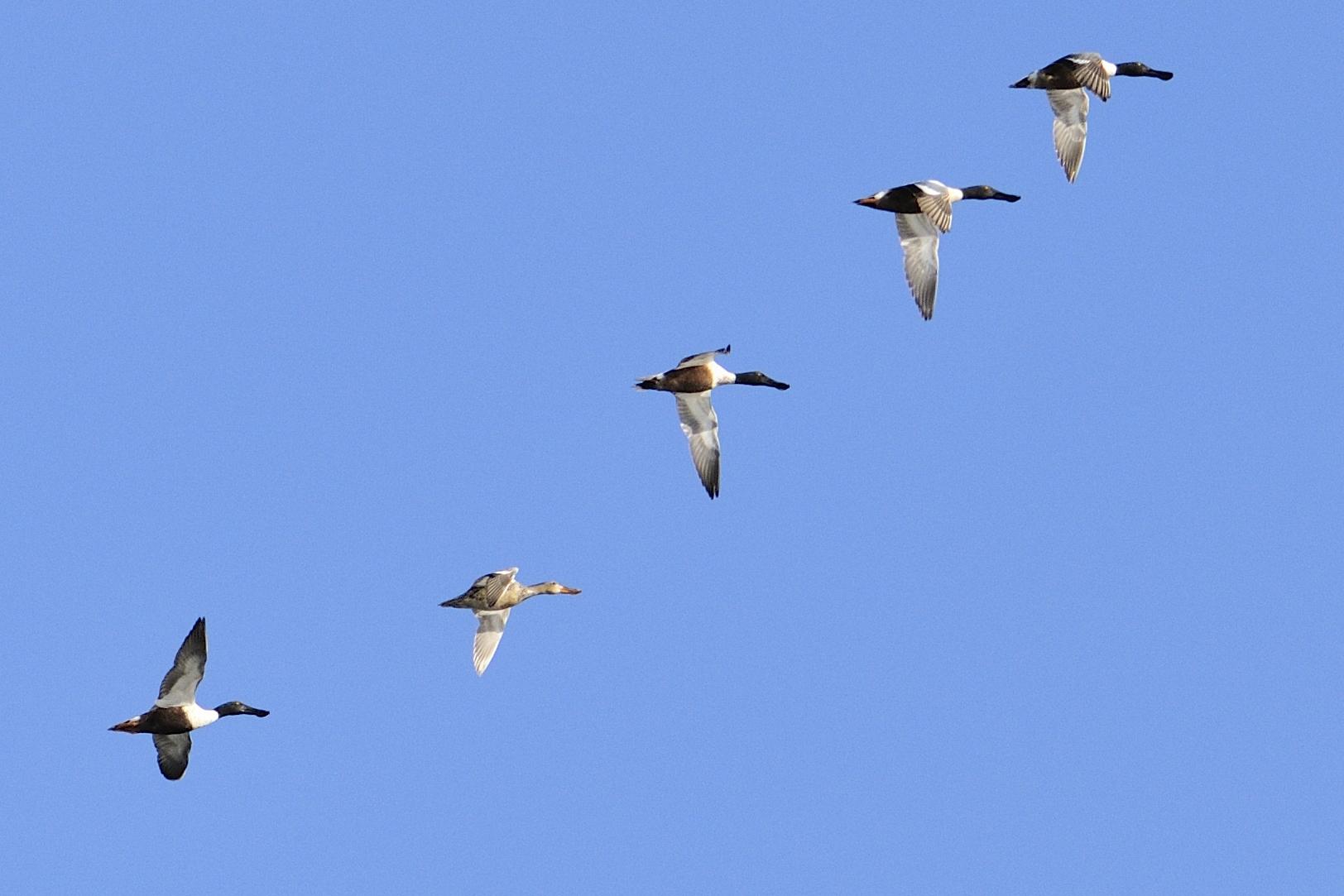 Canard souchet au quai de Pointe aux Outardes