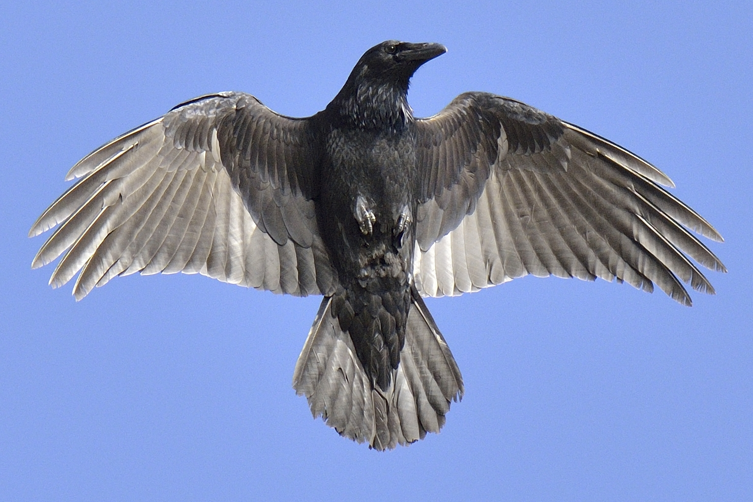 Grand corbeau au Parc Nature de Pointe aux Outardes