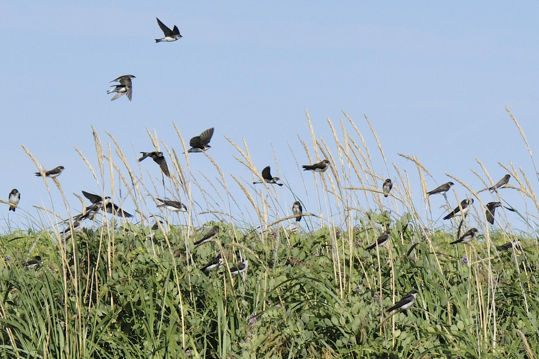 Hirondelle de rivage mangeant des fourmis volantes au Parc Nature de Pointe aux Outardes