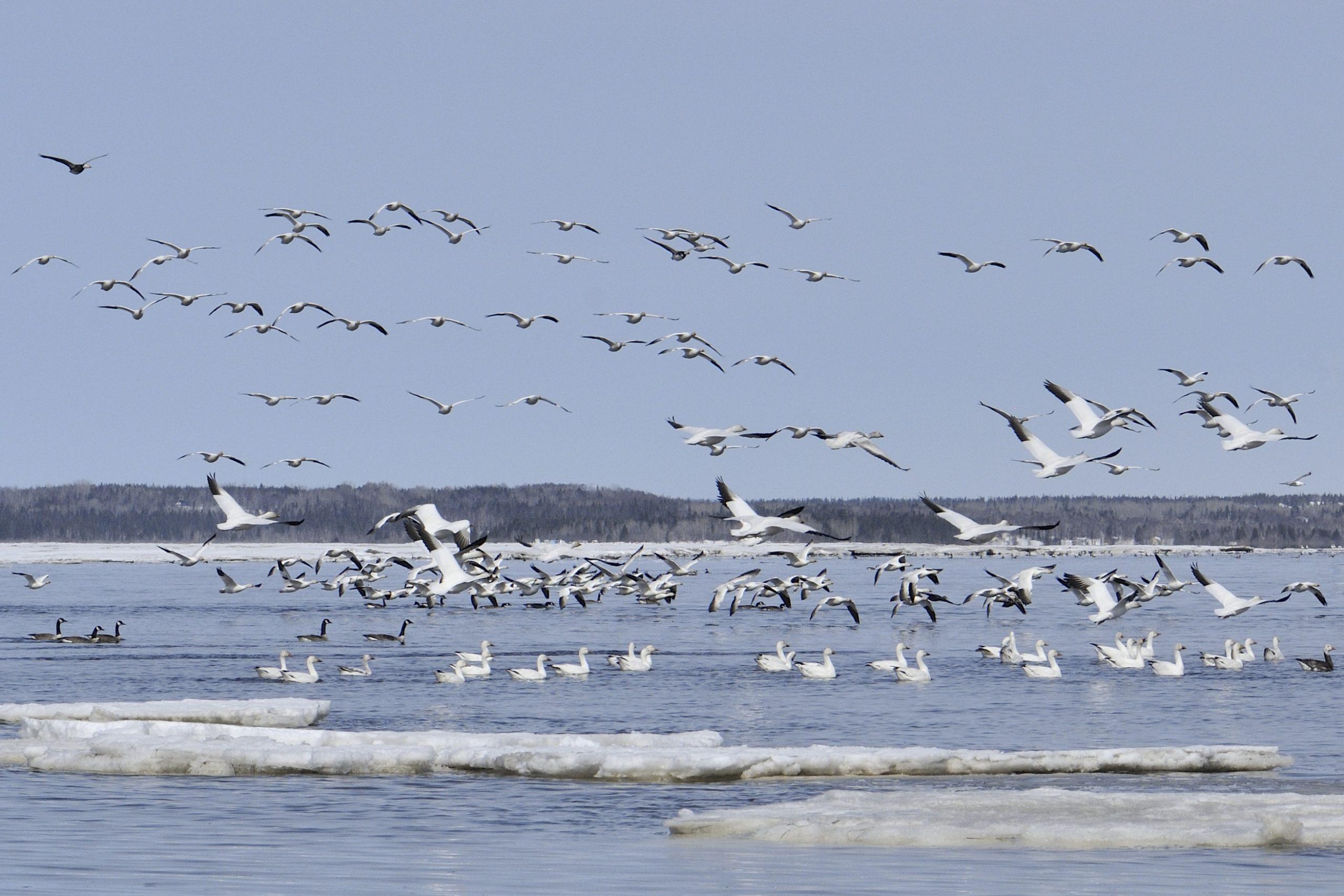 Oie des neiges et bernache du Canada au Parc Nature de Pointe aux Outardes