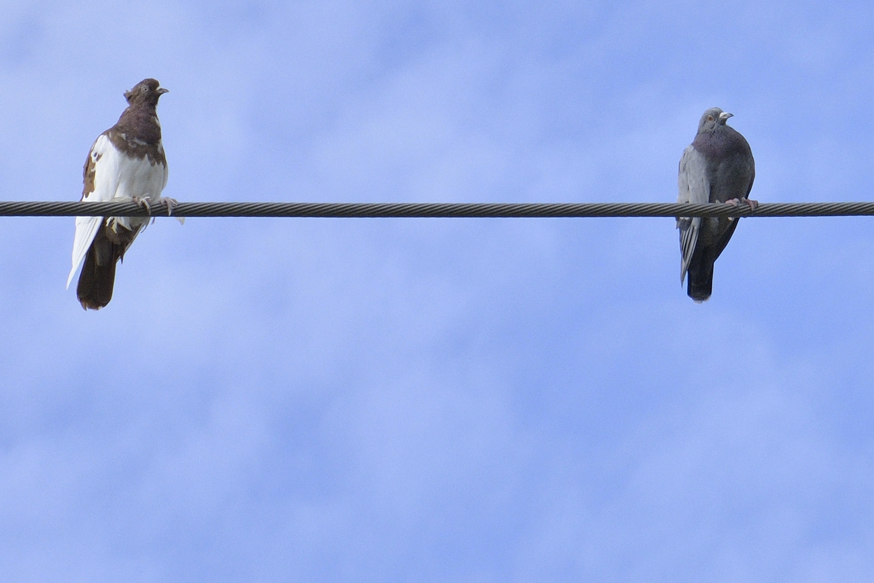 Pigeon biset au 95 Labrie à Pointe aux Outardes
